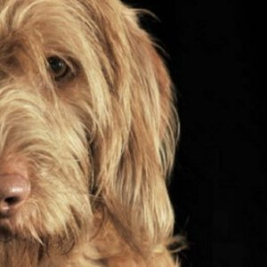"""Wirehaired Vizsla: Artified Pets Journal/Notebook/Diary 6"""" by 9"""" and 160 Pages 2"""