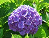 Hydrangea, Purple Hydrangea Seeds - Treasuresbylee - 50
