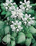 White Nancy Spotted Creeping Lamium - Perennial - Live Plant - Quart Pot