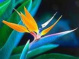 New Bird Of Paradise , TROPICAL / House Plant , Orange Flower , Strelitzia Reginae 8 Seeds !