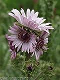 Berkheya Purpurea 15 Seeds, Purple Berkheya African Perennial Plants