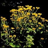 Herb Seeds - Elecampane - 120 Seeds