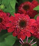 Double Scoop Cranberry Coneflower Flower Seeds 50 Stratisfied Seeds