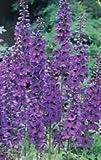 50 BLACK KNIGHT DELPHINIUM Cultorum Pacific Giant Larkspur Flower Seeds *Comb S/H