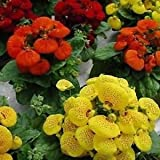 Slipper Flower Fascination Mix Seeds (Calceolaria Herbeohybrida) 100+ Seeds