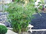 20 Seeds Umbrella Plant Cyperus Alternifolius seeds bonsai DIY home garden