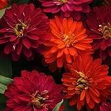 50 Zahara Double Duo Zinnia Seeds - My Secret Gardens