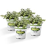 Bonnie Plants Peppermint Live Edible Aromatic Herb Plant, Pet Friendly, Low Light, Part Shade, Great for Indoors- 4 Pack