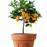 Mandarin Orange Dwarf Seeds Indoors Outdoors Fruit Tree 30pcs