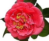 Kramers Supreme Red Camellia Japonica - Live Plant - Quart Pot