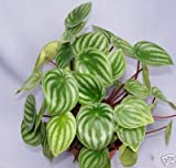 "WATERMELON PEPEROMIA, BEAUTIFUL PLANT SHIPPED IN 4"" POT"