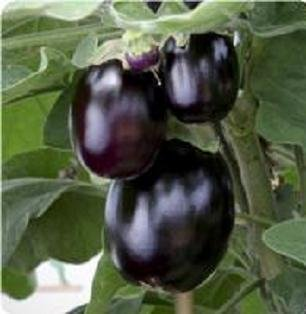 Black Pot Patio Eggplant 10 seeds