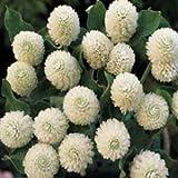 Outsidepride Gomphrena White - 1000 Seeds
