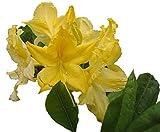 Lemon Lights Yellow Deciduous Azalea - Live Plant - Starter Plug (LG)