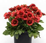 Gaillardia grandiflora Mesa Red 1,000 seeds