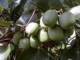 "Hirt's Hardy Meader Kiwi Plant - Actinidia - MALE - Tasty! - 2.5"" Pot"