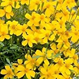 New Tagates Lucica - Marigold , MEXICAN MINT , Herb Spice 75 + Seeds !
