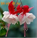 Fuchsia Hybrida Hort Seeds,Bonsai Lantern Flowers, For Garden Home 50 seeds/bag