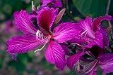 Purple Orchid Tree, Bauhinia Purpurea, 5 Tree Seeds