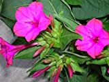 Pink Flowered Fragrant House Plant 100% Real Mirabilis Jalapa 50 Seeds