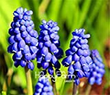 100 Pieces/Bag New Arrival!Blue Violet Purple Grape Hyacinth flower Seeds Garden decoration leader Potted plant seeds