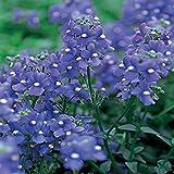Nemesia- Blue Gem - 100 Seeds
