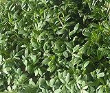 CRESS CURLED PEPPERGRASS Lepidium Sativum - 200 Seeds