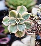 "6"" Variegated Aeonium Kiwi Sunburst Crest rare gift Live Plant Thanks Giving"