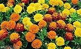 Dwarf French Marigold (Petite Seed Mix) Tagetes Patula Nana, Stay Small All Summe