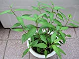 "Vietnamese Coriander Plant aka Persicaria Odorata Rau Ram Daun Kesom Live Plant - 2 Herb Live Plant Fit 3"" Pot"