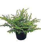 PlantVine Cuphea hyssopifolia, Mexican Heather - Medium - 6 Inch Pot (1 Gallon), 4 Pack, Live Plant
