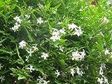 JASMINE OFFICINALE - POET'S JASMINE - FRAGRANT - PLANT