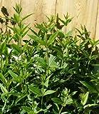 Madder, Rubia Tinctorum, Rubiaceae, 20 Seeds per Pack, Organic, Heirloom,