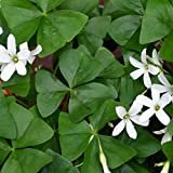 20 Oxalis Regnelli Bulbs - Green Shamrocks - 20 Robust Bulbs #1 Tubers - Grows Indoors & Out from Easy to Grow TM (Regnelli, 20 Bulbs)