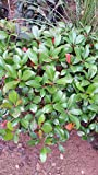 (1 gallon) INDIAN HAWTHORN - Attractive, Compact, Shrub With Pale Pink Blooms Changing to White.