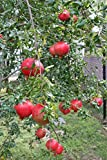 (1 Gallon) RUSSIAN Pomegranate Tree, considered the sweetest of all pomegranates. Very cold and heat tolerant, produces very sweet red fruit.