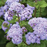 Tall Blue Planet Ageratum Seeds (Ageratum houstonianum) 20+ Rare Seeds + FREE Bonus 6 Variety Seed Pack - a .95 Value! Packed in FROZEN SEED CAPSULES for Growing Seeds Now or Saving Seeds For Years
