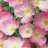 "Organic Flower seeds ""Evening Primrose Scented"" (Oenothera speciosa) 50 seeds"