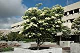 SYRINGA RETICULATA 'IVORY SILK'-JAPANESE TREELILAC-PLANT-APPROX 6-7 INCH