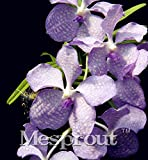 100 Seeds Vanda Coerulea Seeds Diy Plants Pot Seed Germination Rate Of %95 MIX #32722953921ST