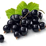 Tiben Black Currant Plant - Elixir of Youth - Bare Root