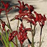 "9EzTropical - Kangaroo Paw Burgundy - 1 Plants/Bulbs - 8"" Tall - Ship in 3"" Pot"