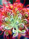 ChinaMarket 10 Pcs Rare Colorful Grevillea Flower Australian Bonsai Grevillea Flower Seeds Plant
