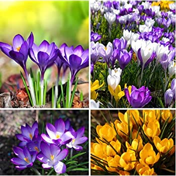 Amazon.com : Saffron Crocus 10 Bulbs - Rare Spice - Fall ...