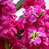 Stock Deep Rose Flower Seeds (Matthiola Incana Ten Week Deep Rose) 50+Seeds