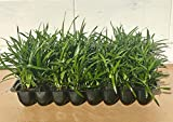 Super Blue Liriope Muscari - 10 Live Plants - Evergreen Ground Cover Grass