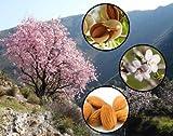 Sweet Almond Tree Prunus dulcis var. dulcis Bonsai Nut Tree - Tree Seeds (5)