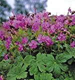 4 Bare Root of Geranium Macrorrhizum 'Bevan's Variety'