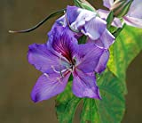 Orchid Tree Seeds (Bauhinia variegata) 4+ Rare Seeds + FREE Bonus 6 Variety Seed Pack - a .95 Value! Packed in FROZEN SEED CAPSULES for Growing Seeds Now or Saving Seeds For Years