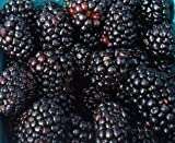 Giant (Black) Fruiting Mulberry Tree - 1 Year Old